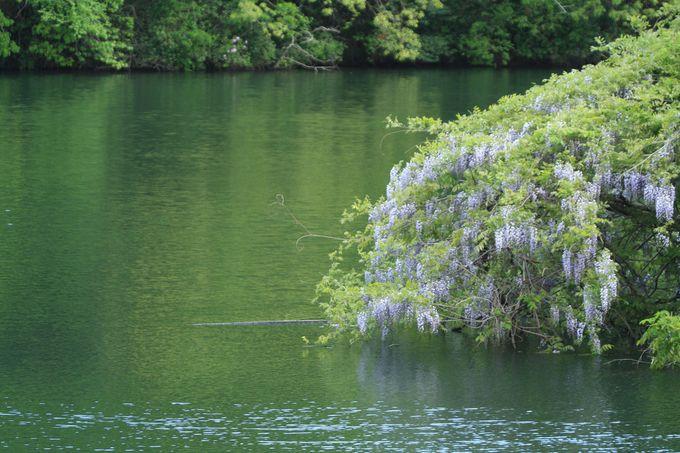 入り口そばの池にも藤の花が?