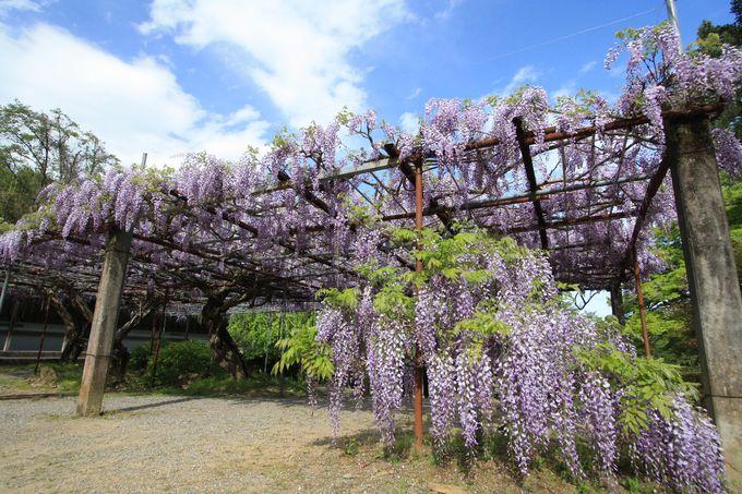藤棚のある広い庭が気持ちいい童学寺