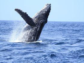 GWまでがベストシーズン!小笠原の海でザトウクジラを目撃しよう
