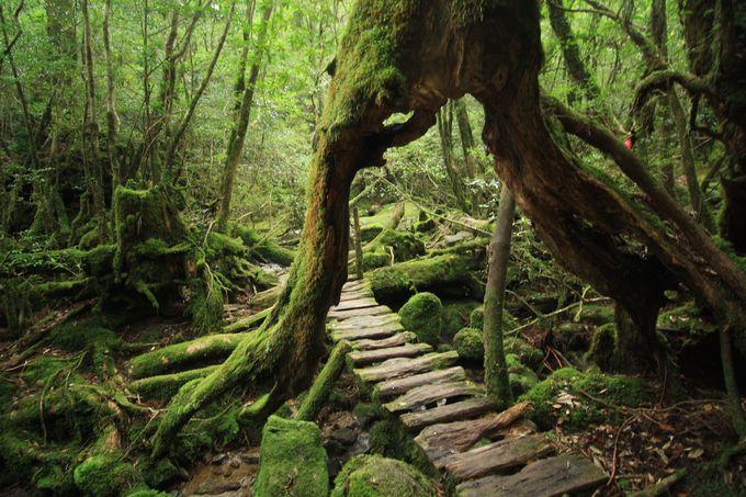 杉のトンネルをくぐる!