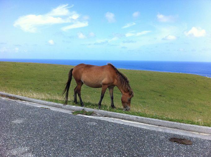 天然記念物の「与那国馬」