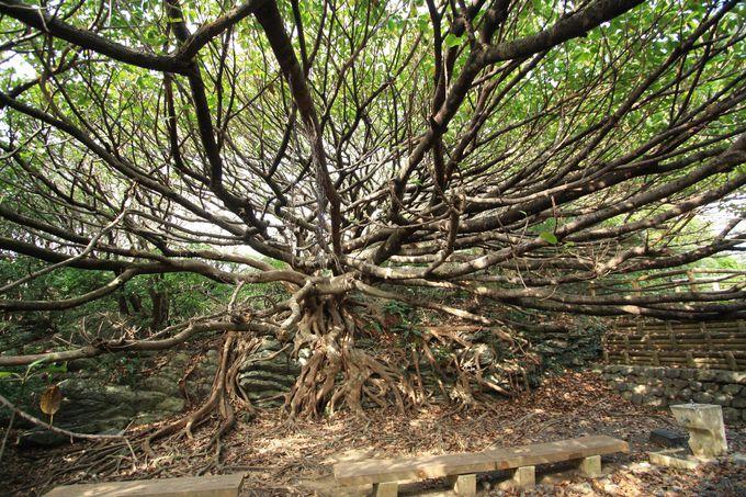 今にも動き出しそうなアコウの木