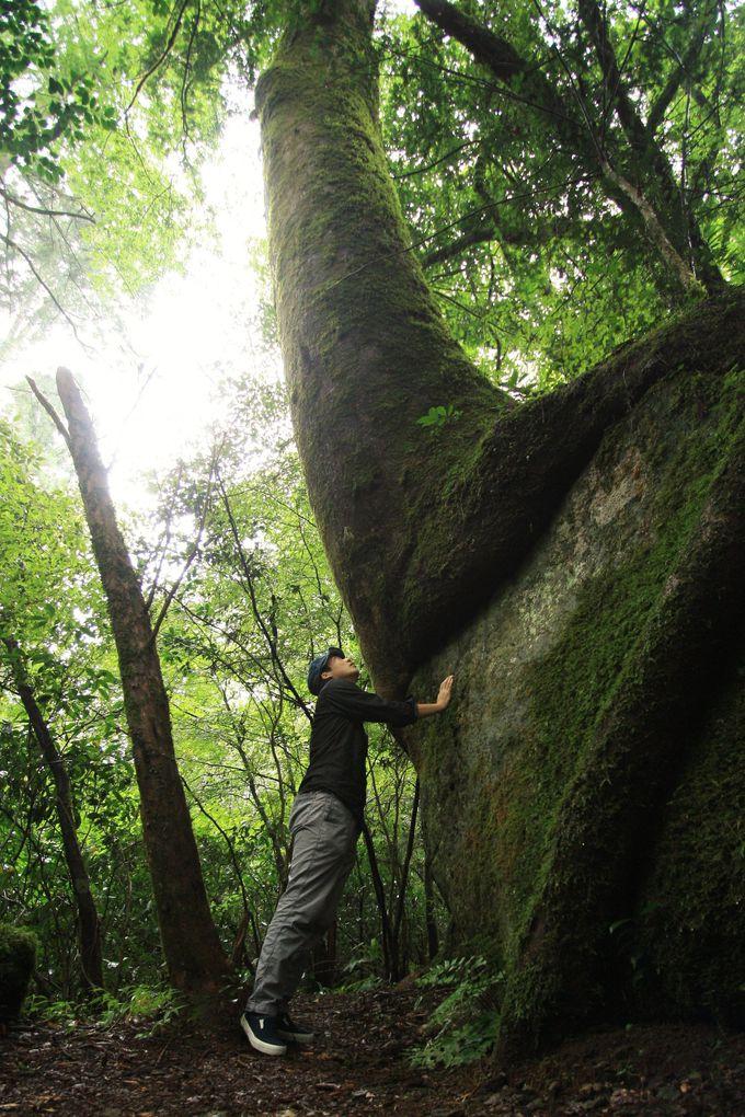 大きな岩を抱えて育つ木も必見