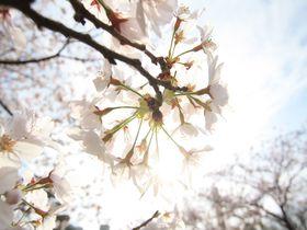 桜の名所「徳島中央公園」は電車好き&城好きさんにもオススメのお花見スポット