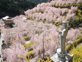 眼前いっぱいの見事なしだれ桜も!徳島の桜名所・花見所まとめ