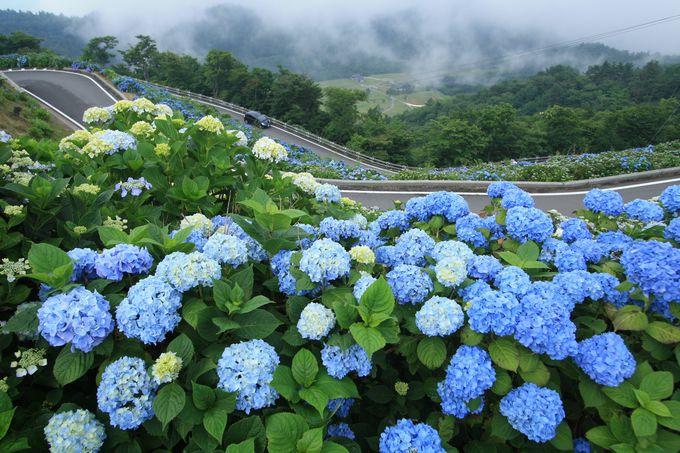 大川原高原のあじさいは斜面に注目