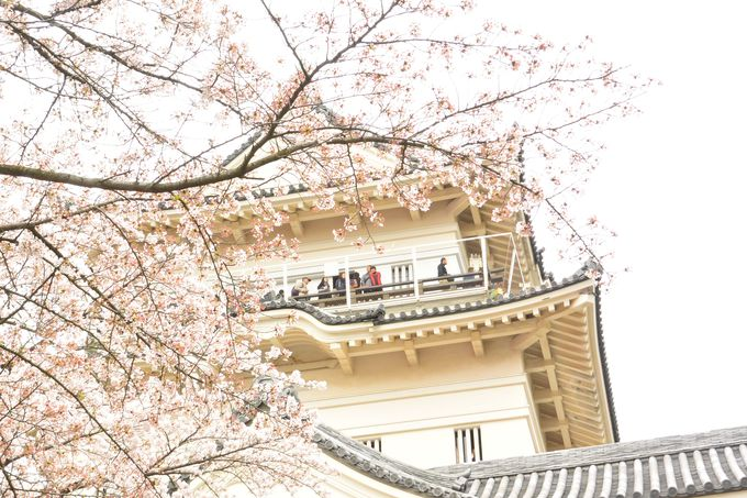 2016年4月大改修を終えた天守閣!桜とのコラボレーションも初披露目