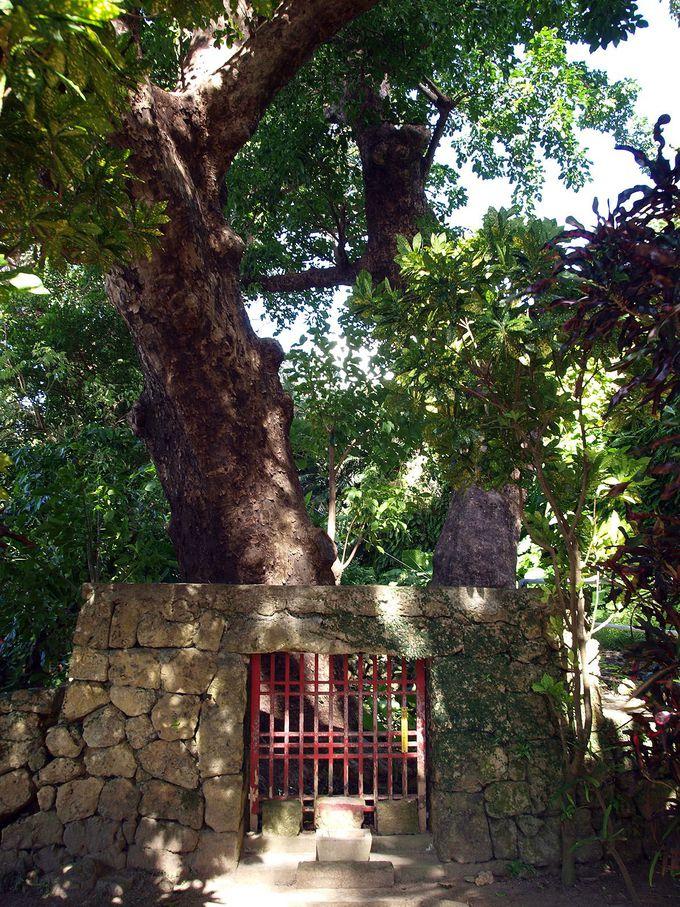 アカギの大樹を神として崇拝する格式高い「内金城御嶽」