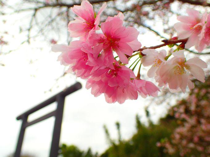 秋冬でも桜が観られる!年中サクラ咲く桜の名所「千葉・櫻木神社」