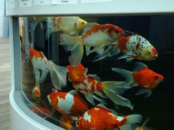 高級品種から希少品種まで!種類の多さに驚く「生きた芸術・金魚」