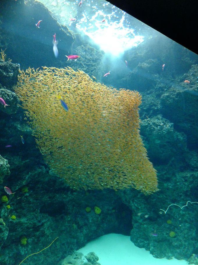 まるでアート作品?キンメモドキの大群が圧巻な「サンゴ礁の海」