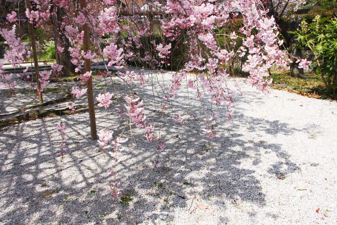 入り口の紅枝垂れ桜が美しい!
