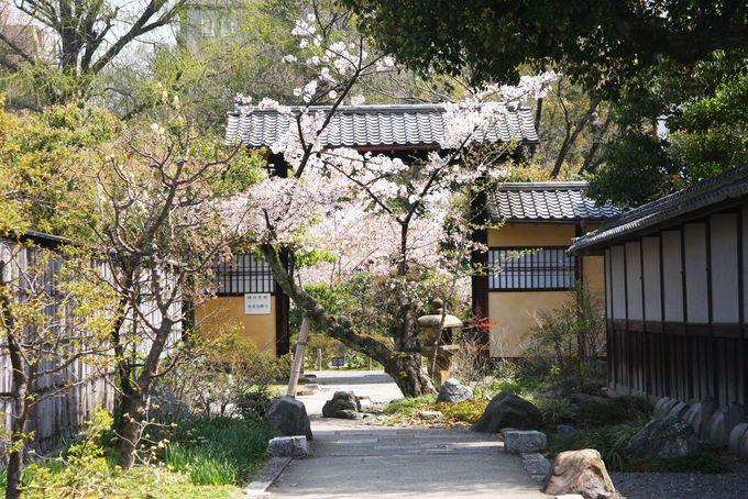 庭園入り口前には1本の古い桜