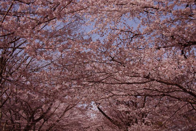 豊臣秀吉の「醍醐の花見」はここ!千本の桜が咲く 京都伏見「醍醐寺」
