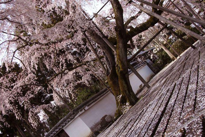 秀吉自ら設計の三宝院庭園の桜