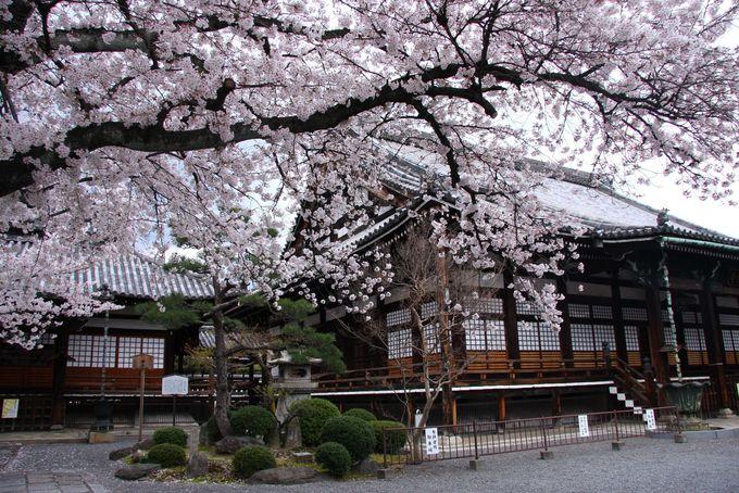 知られざる京都の超穴場 美桜スポット「西陣エリア」
