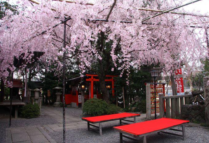 京都で一番小さな桜の名所「水火天満宮」