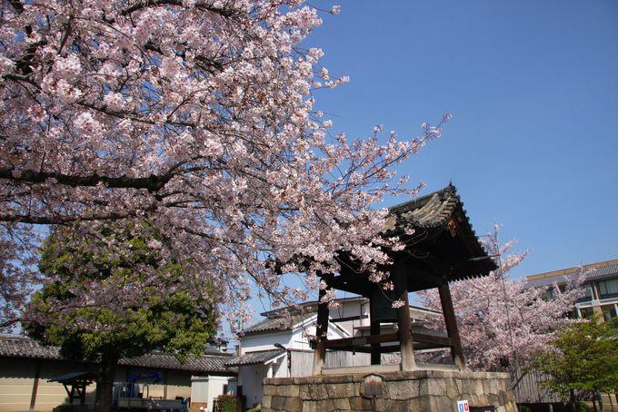 東寺の境内にはいたるところに桜が咲き誇る
