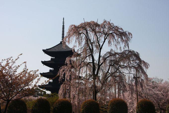 五重塔と枝垂桜は無料エリアからも見られる