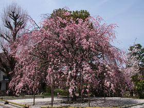 京都駅周辺の桜の名所「渉成園」は降るような枝垂桜が美しい