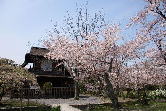 ソメイヨシノと枝垂れ桜(シダレザクラ)が咲き乱れる