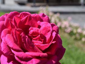 ブルガリアのダマスクローズを堪能するならカザンラク・バラ博物館とバラ蒸留所へ!