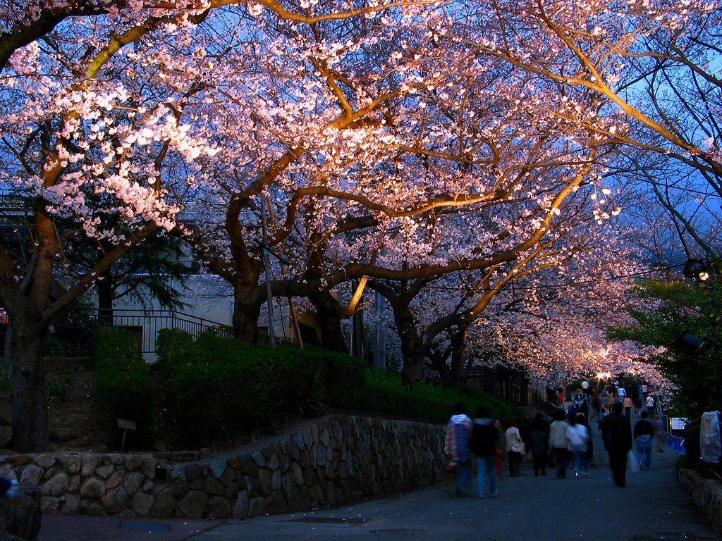 神戸市立王子動物園の桜の通り抜けは夜のライトアップがオススメ