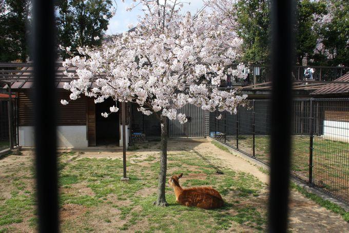 動物×桜を撮るなら草食動物エリアへ