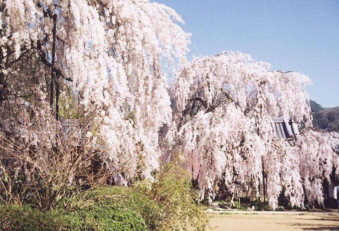 しだれ桜と麿崖仏で有名な大野寺
