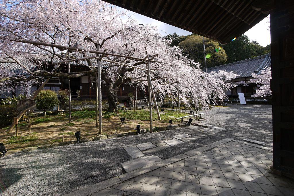 まるで桜の屋根