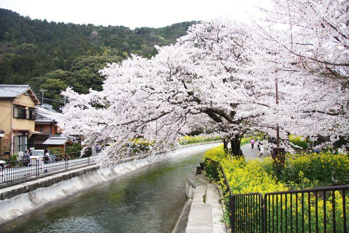 菜の花と桜のコラボが絶妙な琵琶湖疎水