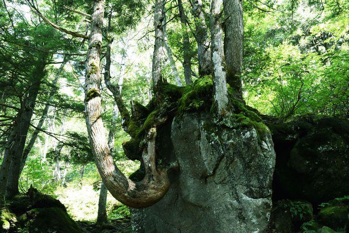 原生林には不思議な根上りの木も