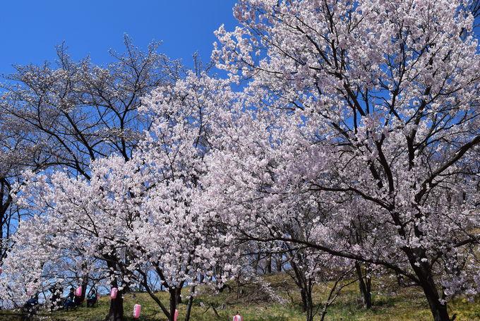 駐車場から山頂までは桜の並木道