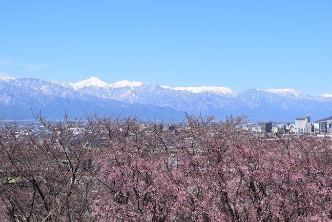 開花時期が異なる桜が点在する弘法山古墳