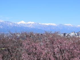 松本・弘法山古墳で桜と北アルプスの絶景コラボを満喫