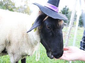 仮装した羊がトリックオアトリート!星野リゾート トマムのファームハロウィンパーティー
