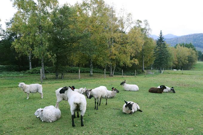 羊のトリックオアトリートの合図とは?