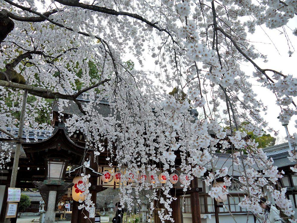 約50種400本もの桜の中には珍しい品種も