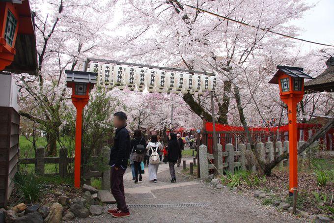 平野神社で花見をするなら場所取りは不要