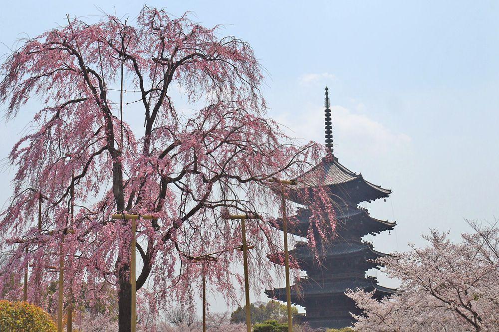 日本最古の五重塔と枝垂れ桜