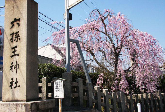 知られざる京都駅近の桜の名所「六孫王神社」