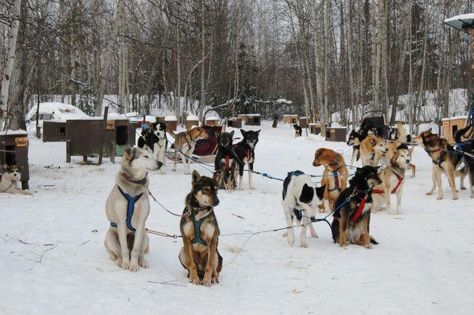 犬ゾリは、冬のアラスカの代表的なアクティビティーです