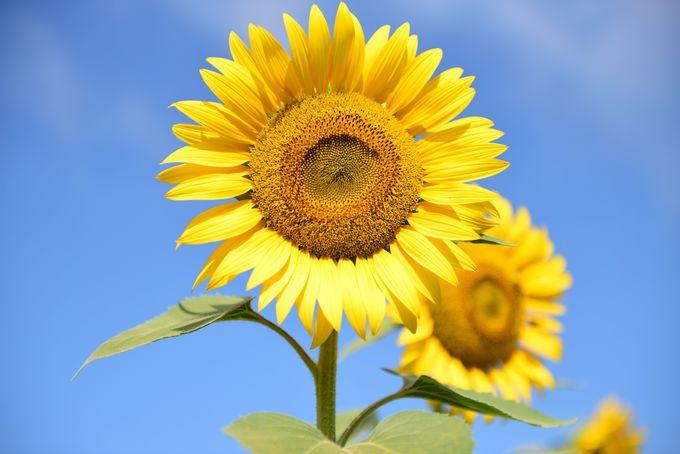 夏ならでは!黄色い絶景が広がる山梨県北杜市の明野地区