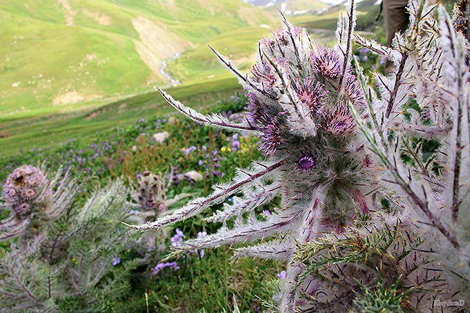 天山に咲き誇る高山植物と大自然