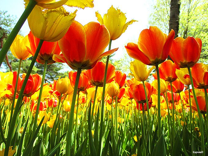 色とりどりのチューリップがかわいい「たまごの森フラワーガーデン」