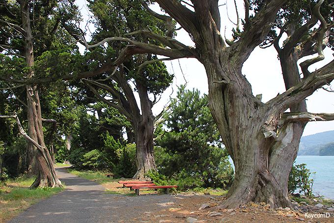 国指定天然記念物の「ビャクシン樹林」
