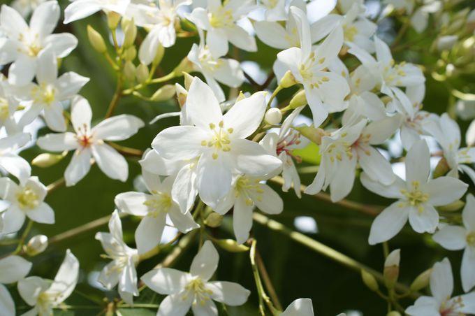 美しい台湾の「五月雪」油桐花