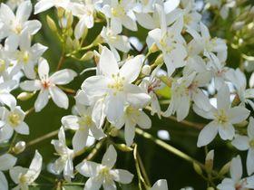 台湾に降る「五月雪」?油桐花の真っ白で優美な姿はGWにも!