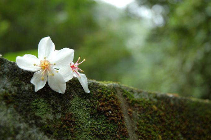 台湾の「油桐花」他にはどこで見られるの?2018年台北からのアクセスは?