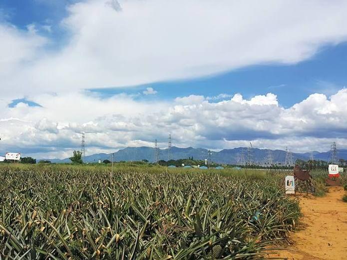台湾の美味しいパイナップルが一面に!